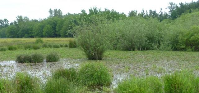 Wetland crop